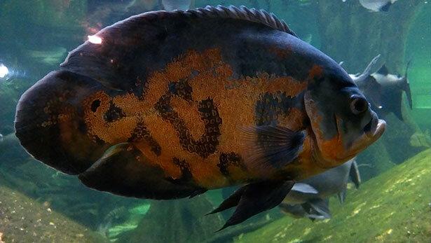 Un pez que parece muy enfadado