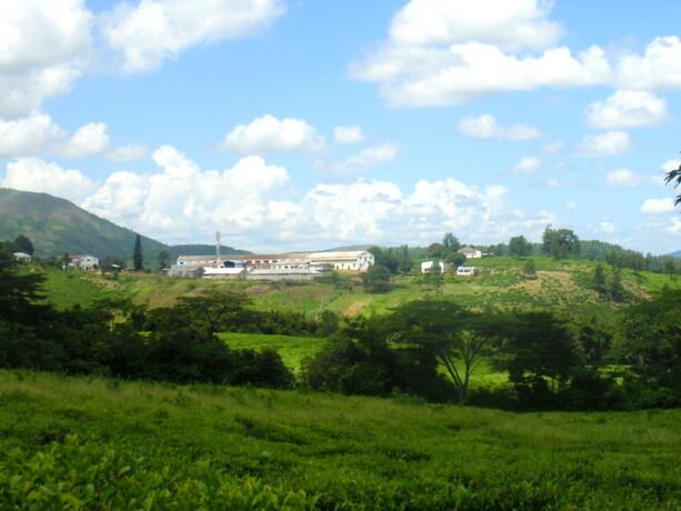 Fábrica y plantación de té