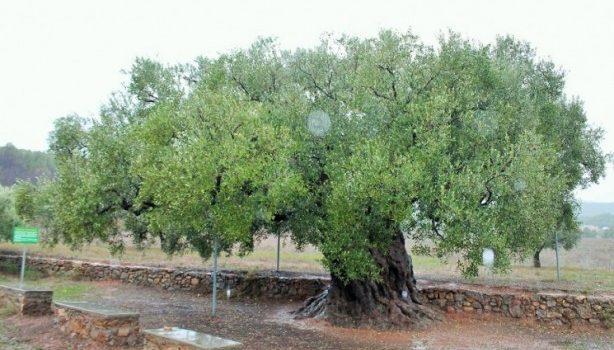 La olivera Morruda