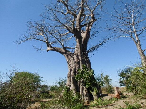 Los baobabs de Liwonde