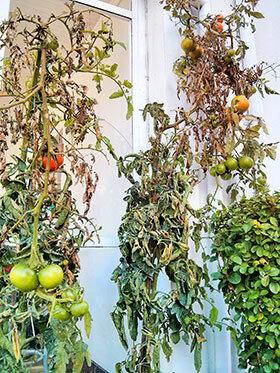 Las tomateras de Casa Enrique