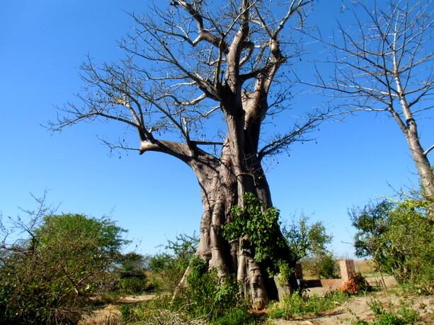 Los poderosos baobabs de Liwonde