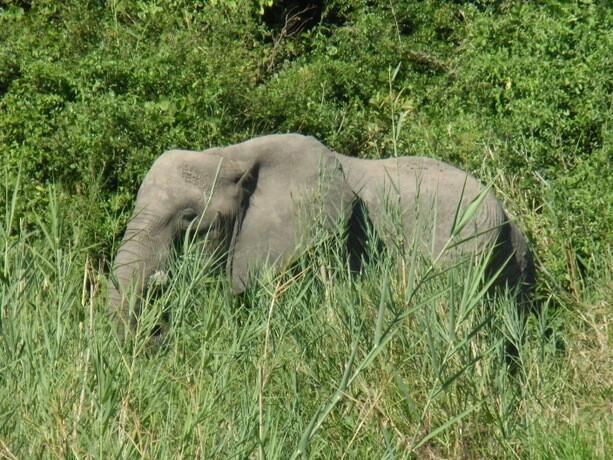 Elefante en Liwonde