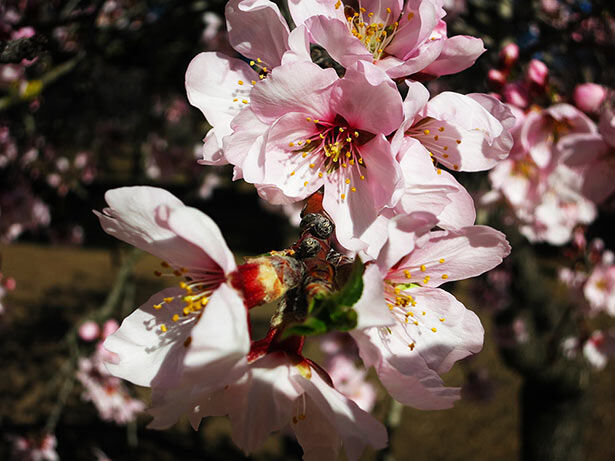 almendros-flor