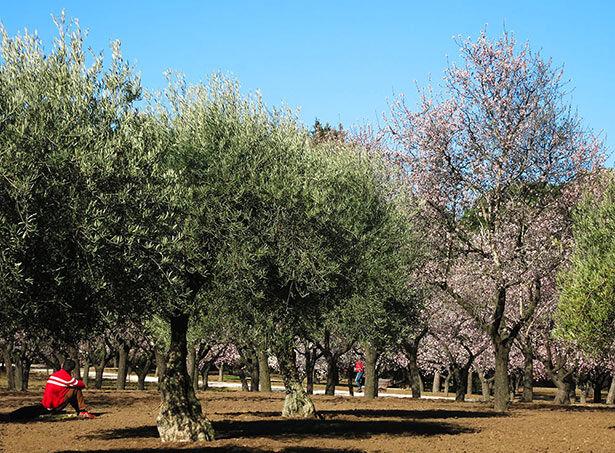Aparte de almendros también encontraréis olivos y eucaliptos