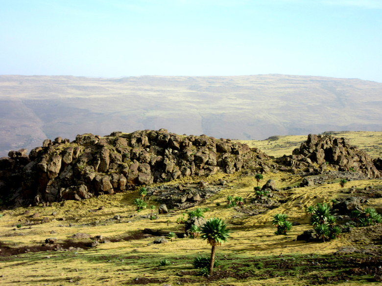 Las lobelias gigantes del paisaje de las Simien