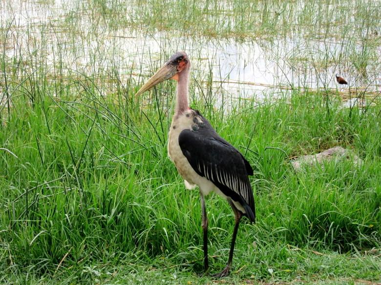 Las grandes aves de Awassa