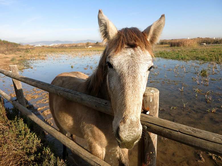Los caballos del Delta del Llobregat son amigables y acuden para saludar