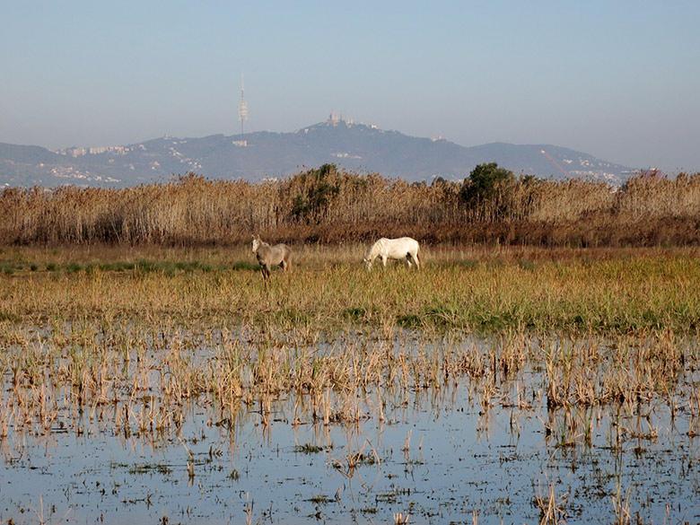 Los caballos pastan las zonas húmedas del parque natural del Delta del Llobregat