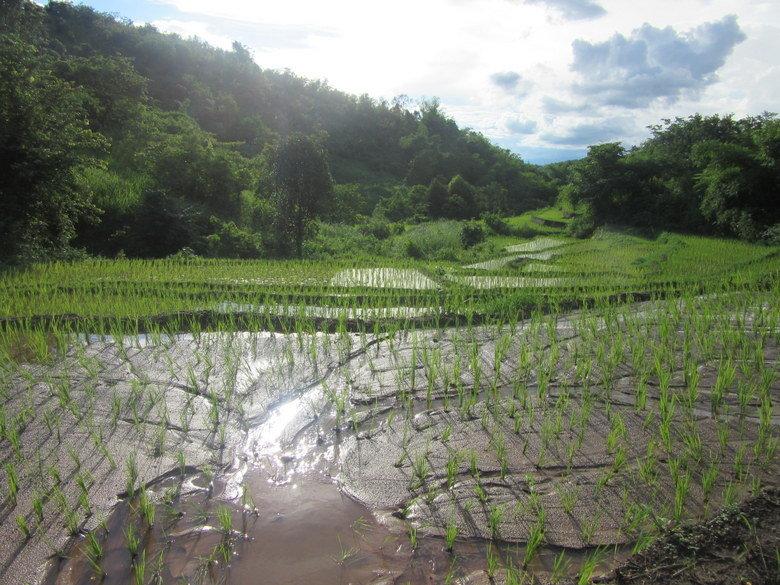 arroz-myanmar-kengtung