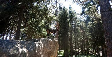 Una cabra montesa en el parque de animales de Les Angles