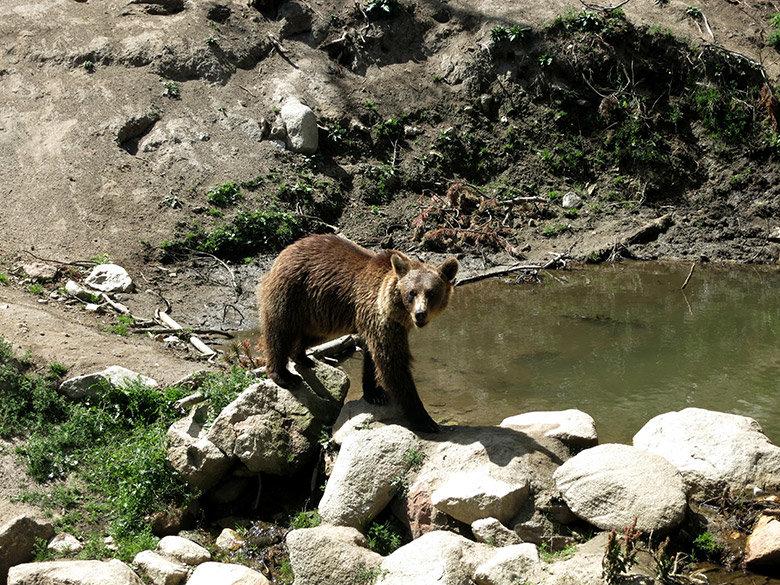 Uno de los dos osos que habitan en el parque de animales de Les Angles