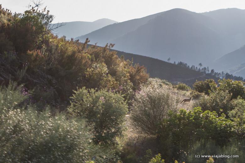 Zorro salvaje en la carretera, Las Hurdes, Cáceres, Extremadura