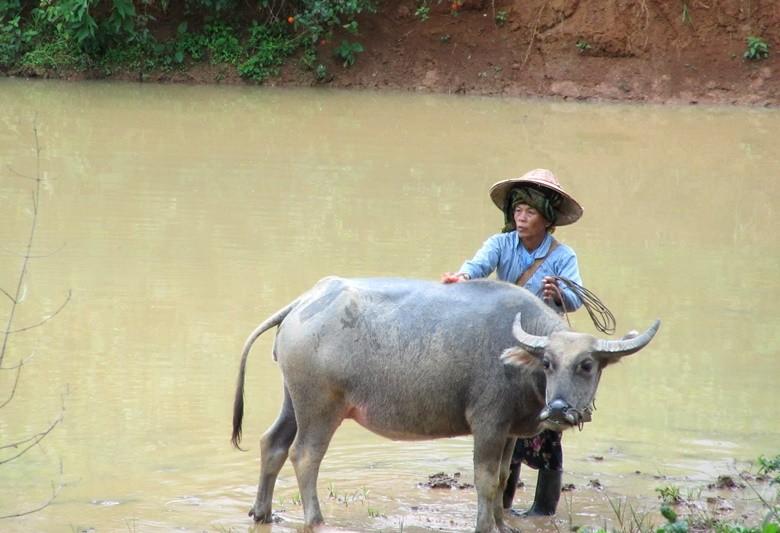 bufalo myanmar