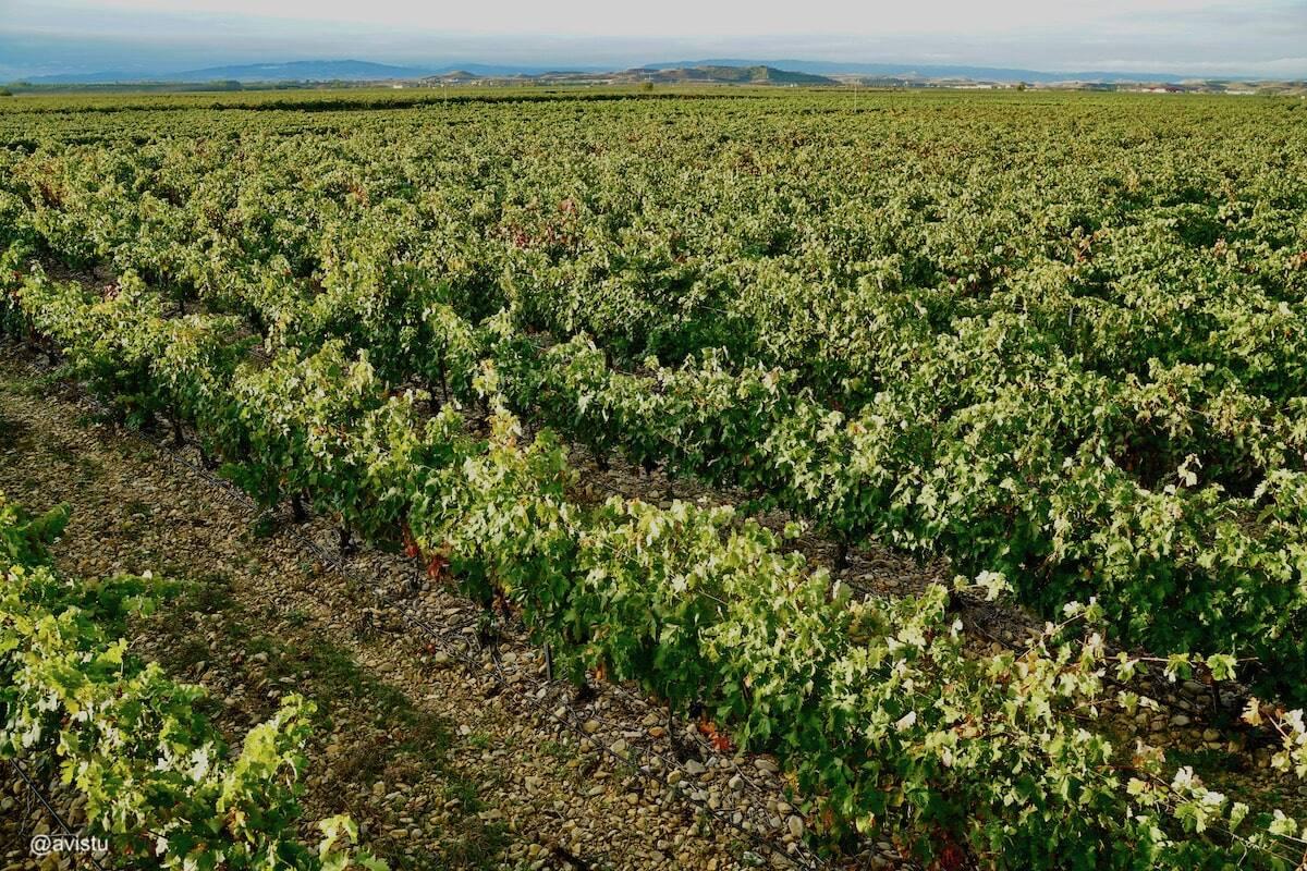 Viñedo en La Rioja