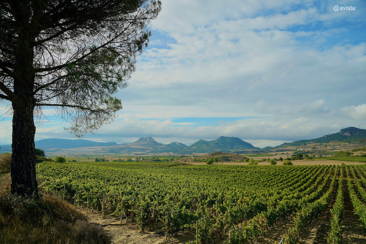 Un mar de vides en La Rioja
